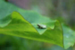 Naimul Karim Naim personal website photgraphy tiny green tree frog on a leaf