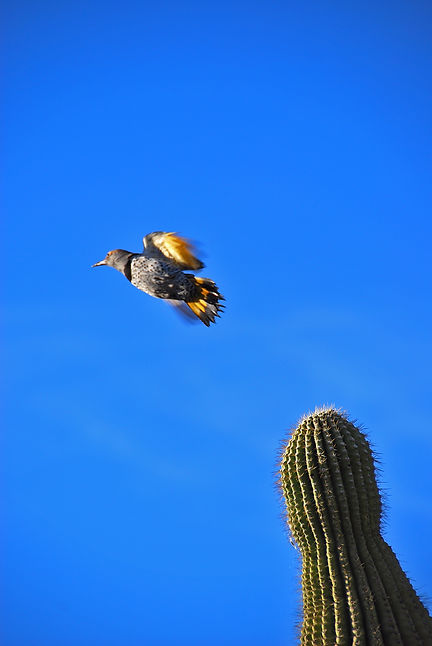 Naimul Karim Naim personal website photography Cactus Garden Arizona thorny blue sky bird in flight