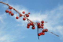Naimul Karim Naim personal website photgraphy red white blue ripe juicy autumn sky crab apple cloud