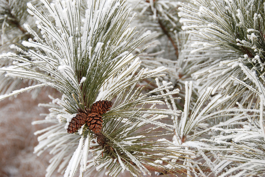 Naimul Karim Naim personal website photgraphy hoar white frost Battlecreek neighborhood park winter cold Minnesota nature white forest pine cone snow