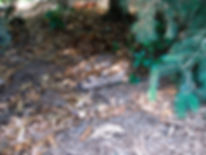 Naimul Karim Naim personal website photgraphy backyard young fawn under pine tree Minnesota
