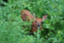Naimul Karim Naim personal website photgraphy backyard spotted fawn innocnet look large eyes hiding surprised green underbush