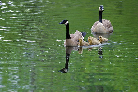 Naimul Karim Naim personal website photgraphy Canadian Goose gosling backyard swim green pond water