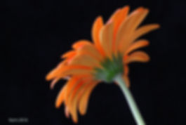 Naimul Karim Naim personal website photgraphy orange flower