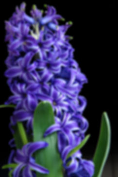 Naimul Karim Naim personal website photgraphy flowrs violet close-up