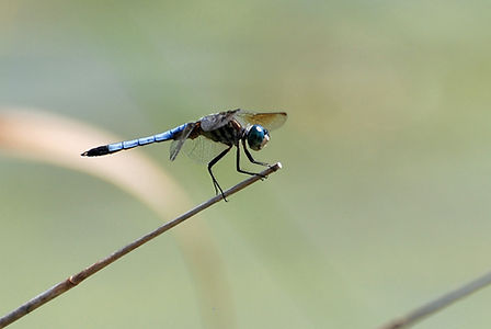 Naimul Karim Naim personal website photgraphy dragonfly on a stick close-up