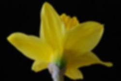 Naimul Karim Naim personal website photgraphy yellow fower close-up