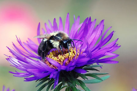 Naimul Karim Naim personal website photgraphy bumblebee close-up violet flower