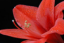 DSCNaimul Karim Naim personal website photgraphy red flower dew close-up