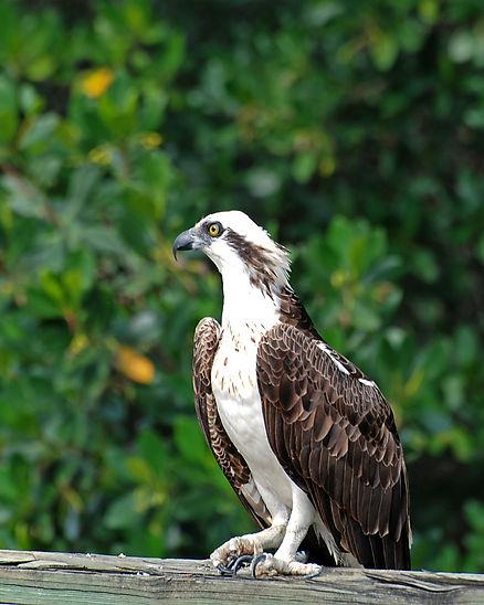 Naimul Karim Naim personal website photography Everglade National Park Florida Eagle