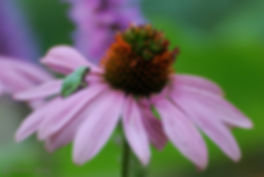 Naimul Karim Naim personal website photgraphy tiny freen tree frog purple coneflower prince