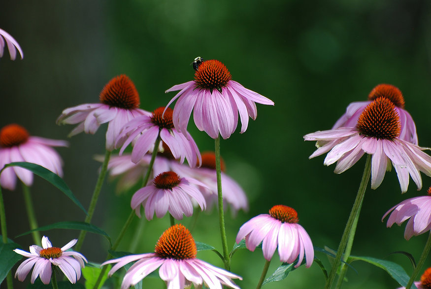 Naimul Karim Naim personal website photgraphy bee cone flower purple honey