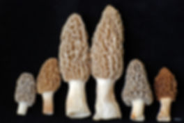 Naimul Karim Naim personal website photgraphy morchella morels mushroom close-up Turkish Dlight