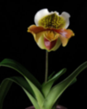 Naimul Karim Naim personal website photgraphy floer cose-up orchid