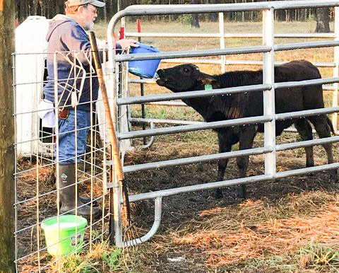 Illinois – Developing Tropical Dairy Cattle to Feed the World