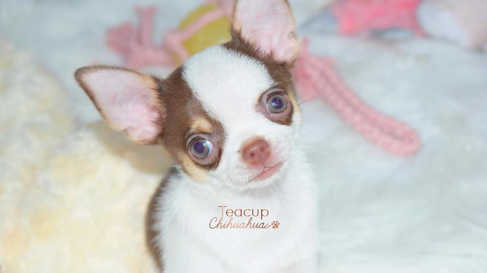 Baby Choco Toshi