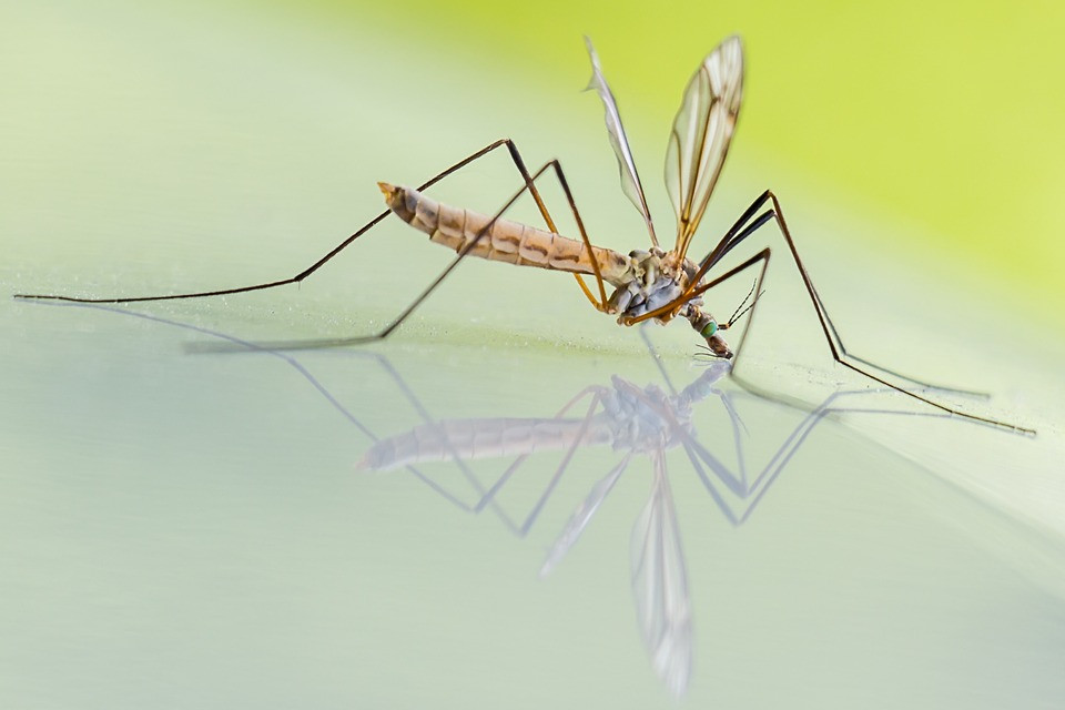 moustique-maladie-malaria