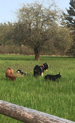 Outstanding Goats