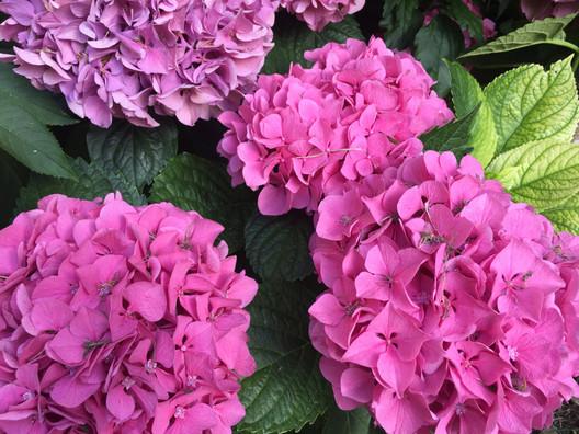 Hortensia Rose / Pink Hydrangea