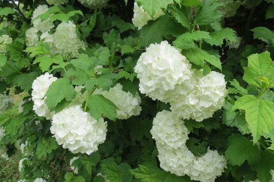 Hortensia Blanc / White Hydrangea