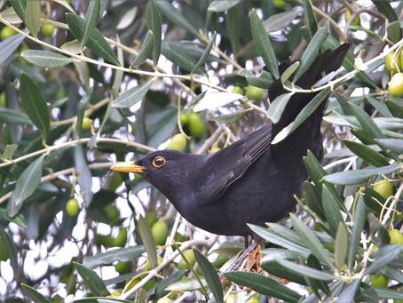 Zeytin Ağaçlarını Kuşlar Dikiyor