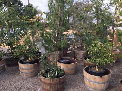 Trees & Shrubs in Half-Wine Barrells