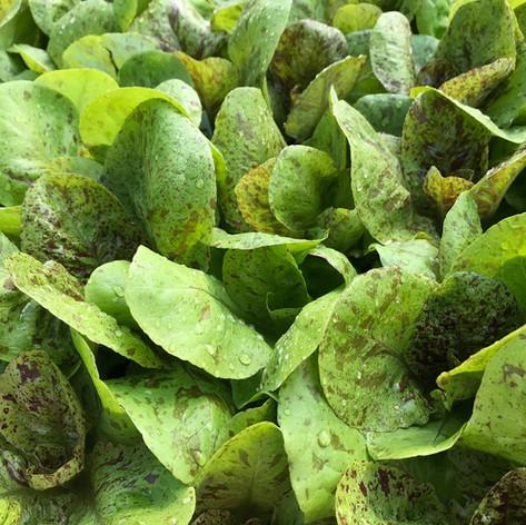 Lots of Lettuce