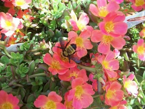 Blooming Purslane Portulaca