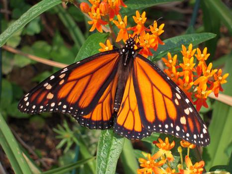Butterfly Munching on Milkweed