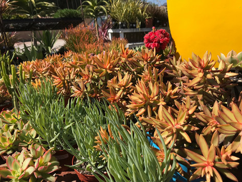 Sunny Succulents!