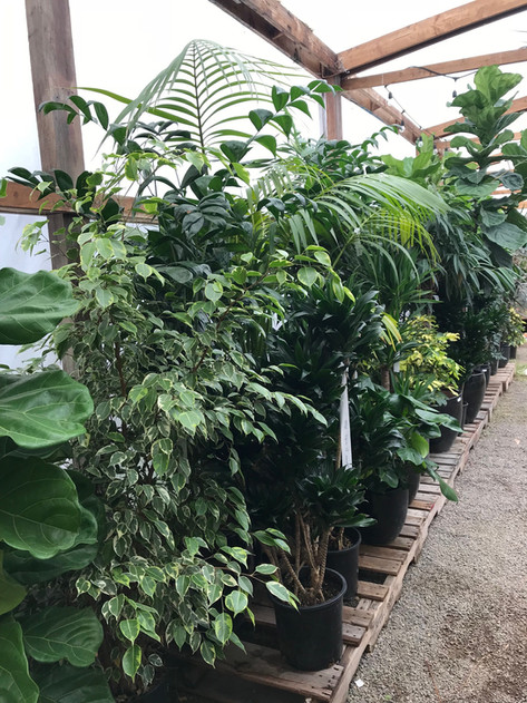Large Indoor Tropical Plants