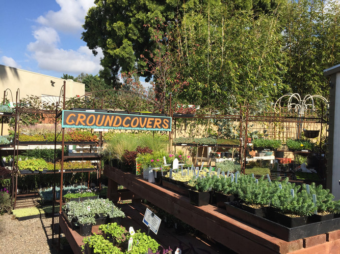 Groundcover Plants for California