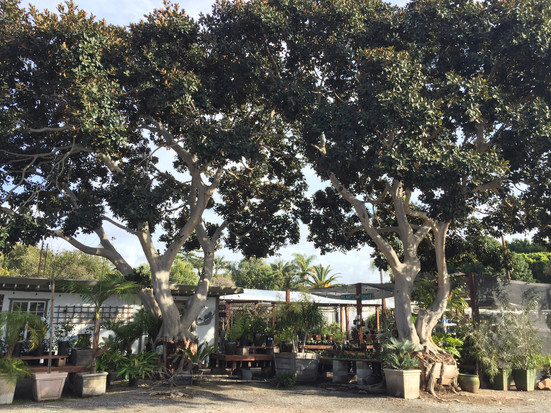 Our Magnificent Ficus Trees