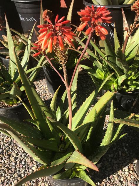 Aloe little gem
