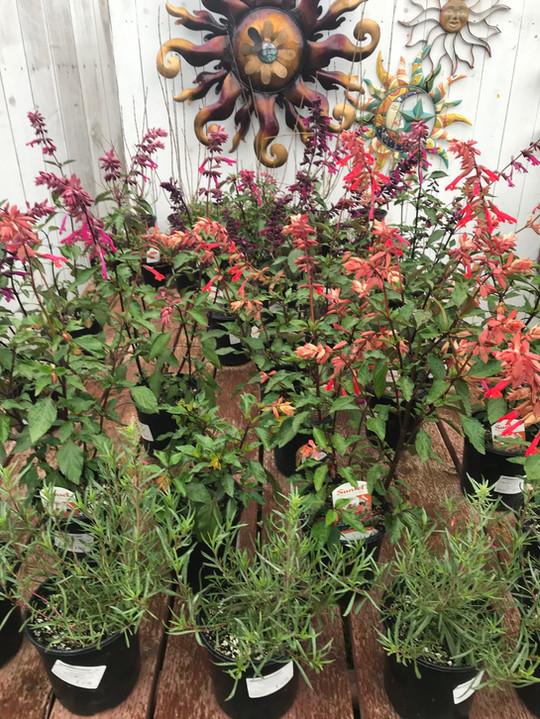 Salvia Wendy's Wishes