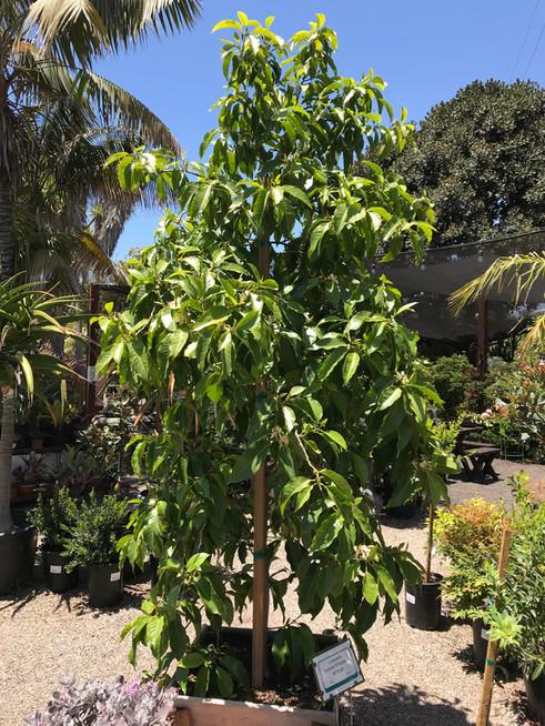 Michelia alba box tree