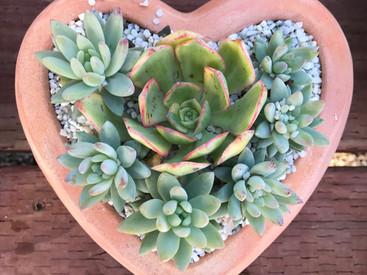 Mixed succulent heart