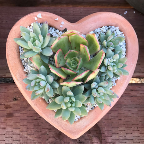 Mixed Succulents in Heart