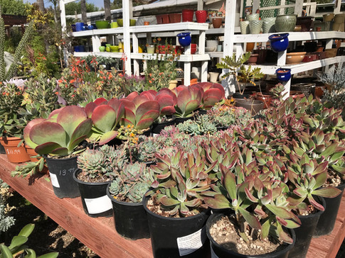 Tons of Variety in Succulents