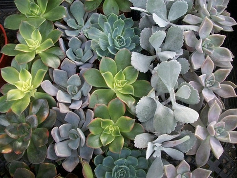 Rows of Succulents