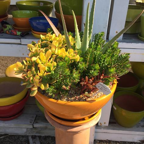 Mixed Succulent Pot