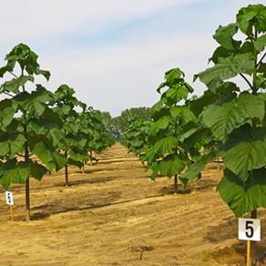 Argentina impulsa el cultivo del Kiri, el árbol capaz de frenar el cambio climático