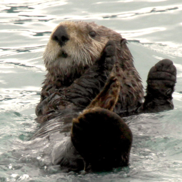 Sea Otter Seward AK.JPG