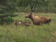 Moose and Calf.JPG