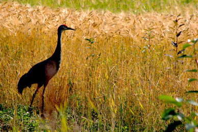 Sandhill Crane by the Pond.jpg