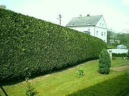 leylandii hedge.jpg