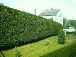 leylandii hedge.jpg