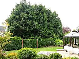 lelandii hedge out of control.jpg