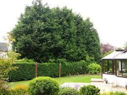 lelandii hedge out of control.jpg