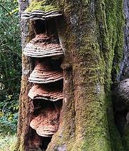 treefungus.jpg